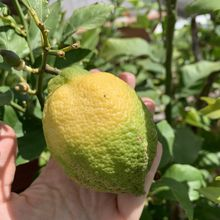 La recette du dimanche : les citrons confits...à l'huile d'olive