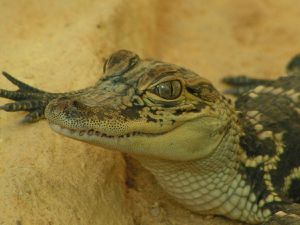 Visite de la ferme aux crocodiles (Drome)