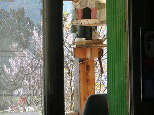 La Mure Argens  :  La tourterelle s'invite au restaurant des oiseaux