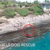 Dramatic moment dog is swept off Hawaii cliff face by gigantic wave