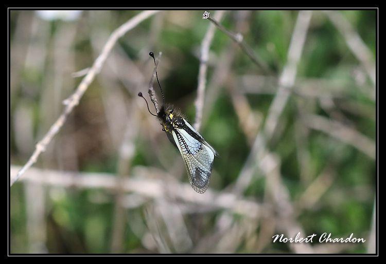ascalaphe blanc comps sur artuby