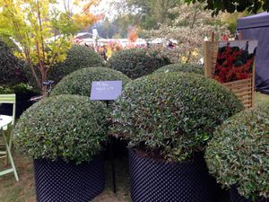 Phillyrea angustifolia  et Pittosporum 'Golf ball'