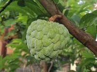 Ces fruits tropicales qui sont là sont très bons pour la santé mais, juste pour les femmes seulements