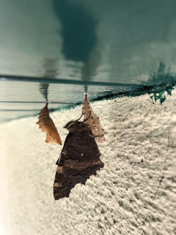 La chrysalide avant et pendant la métamorphose, et le papillon adulte qui fait sécher ses ailes au soleil sur la fleur la plus proche.
