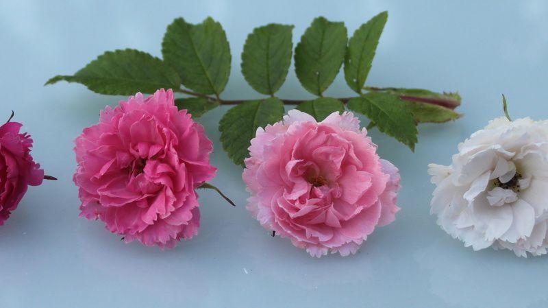 Planche comparative des rosiers à fleurs d'oeillet (Grootendorst)