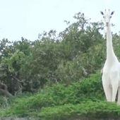 Au Kenya, l'unique girafe blanche femelle et son petit tués par des braconniers