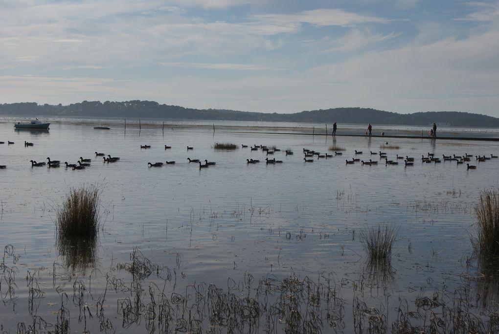Des oiseaux nombreux sur le bassin, des mouettes, des oies, des cygnes et des bernaches, superbe moment - au loin les cabanes des pêcheurs sur le port d'Arès