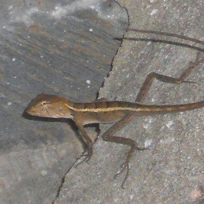 Les lézards : des geckos aux varans de Lumpini (Bangkok)