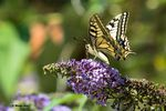 Le joli Machaon