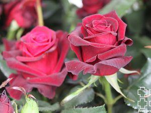 Les rosiers en B. de Bl. à Bo.