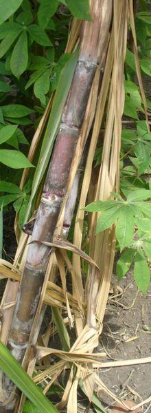 Les cannes à sucre de la commune de Selembao (1/2)