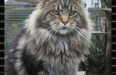 Saillie chat maine coon