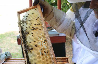 Nos abeilles meurent de faim