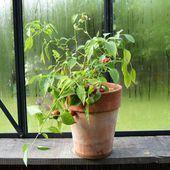 Des nouvelles : les piments hivernés à l'intérieur - Au jardin des Quatre Moineaux