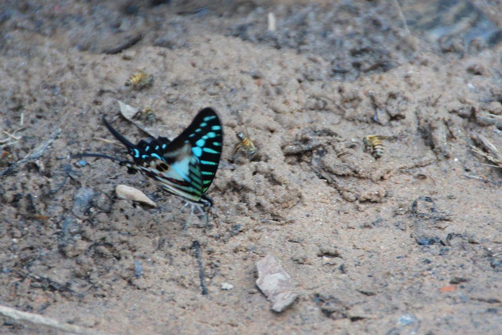 Papillon bleu et noir au Cameroun