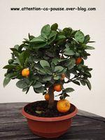 Citrus Mitis : l'oranger nain