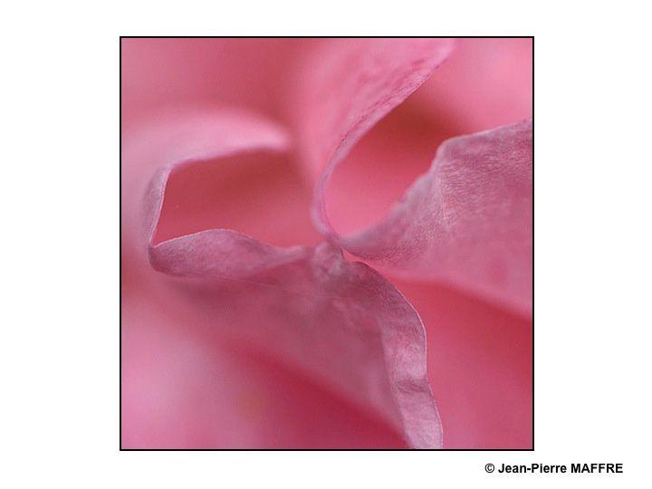 En se rapprochant du Coeur des roses on découvre des motifs et des lignes d'une grande pureté.