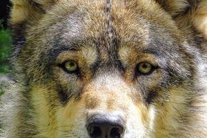 En Espagne, fini la chasse aux loups