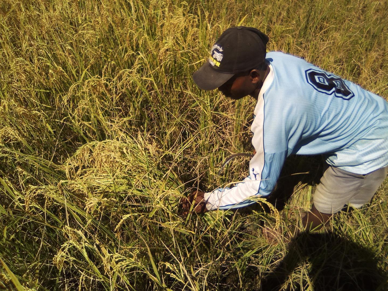 Première récolte de riz sur le site HSA