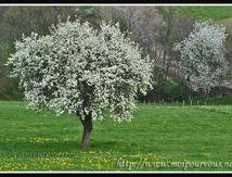 Les pommiers fleuris ...