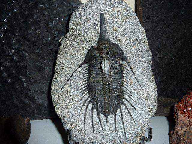 album contenant des trilobites du Carbonifère et du Dévonien de pays différents .