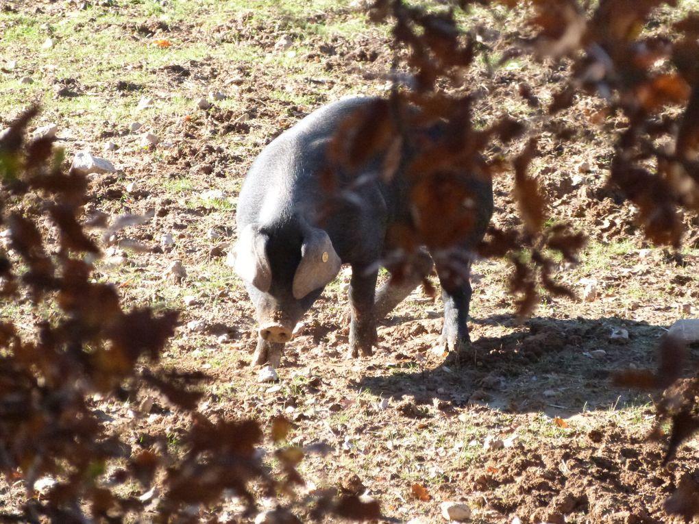 Les porcs de Cécile et Olivier