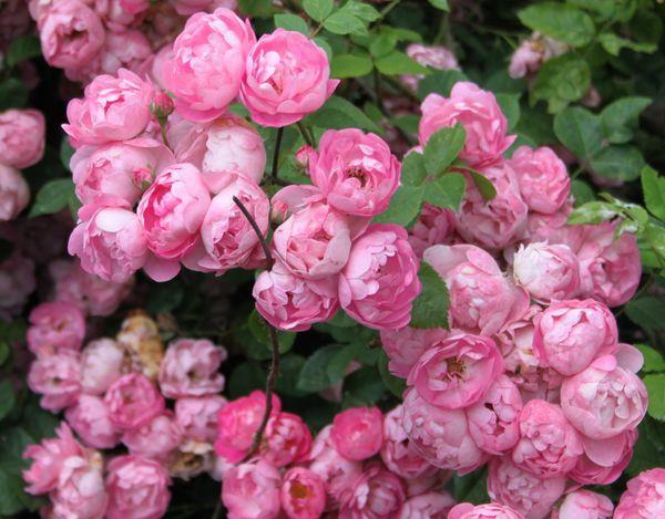 Découvrez le rosier Raubritter