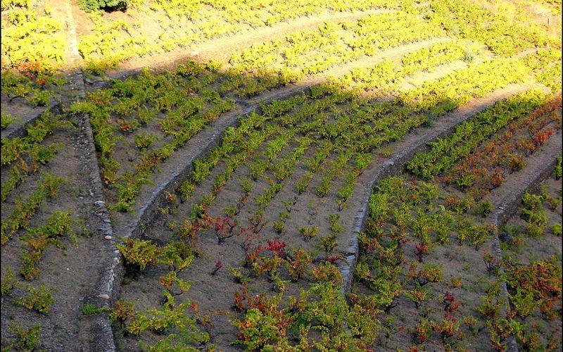 COLLIOURE (Des casots et des vignes)