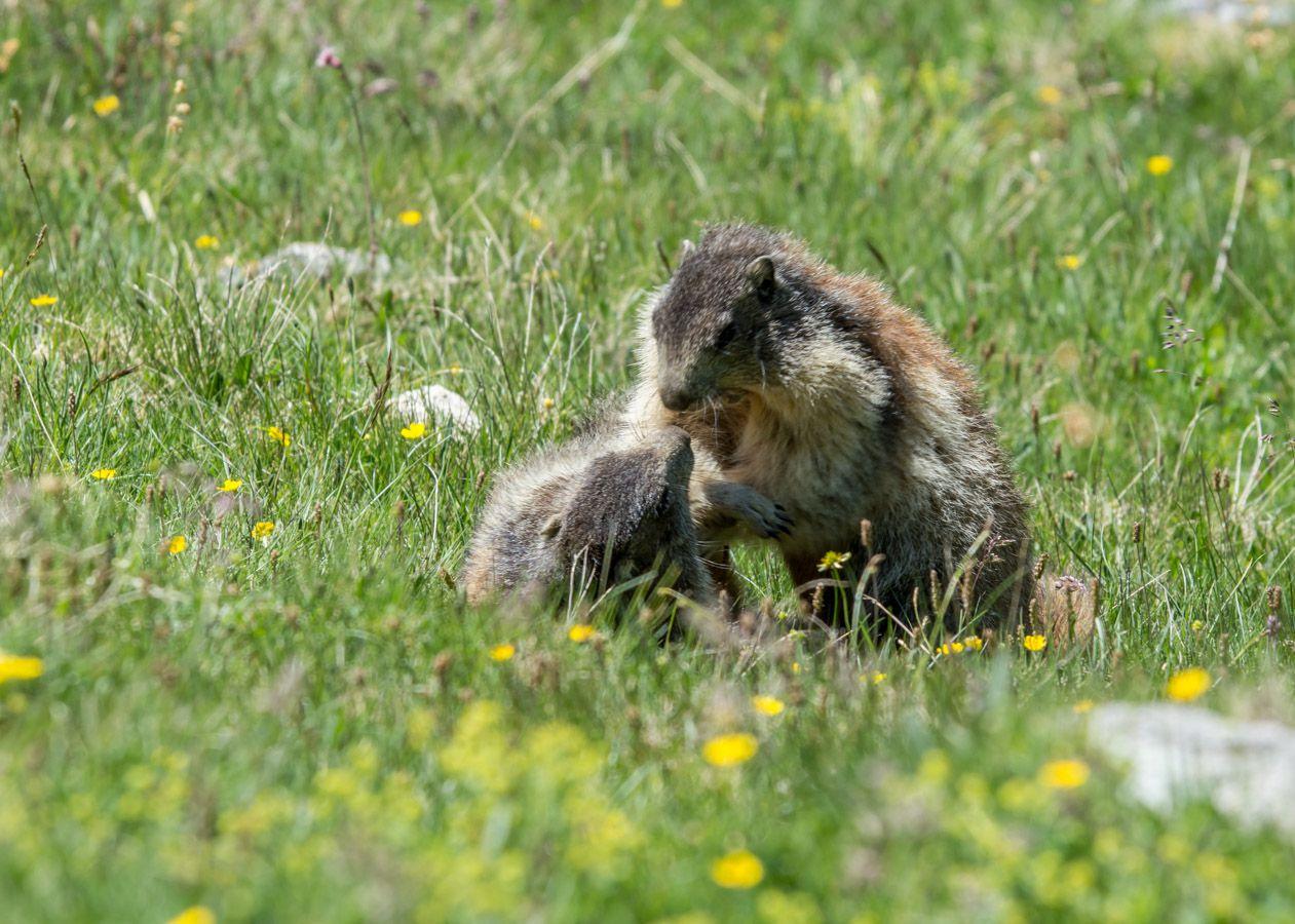 Marmottes et jeu de marmottes
