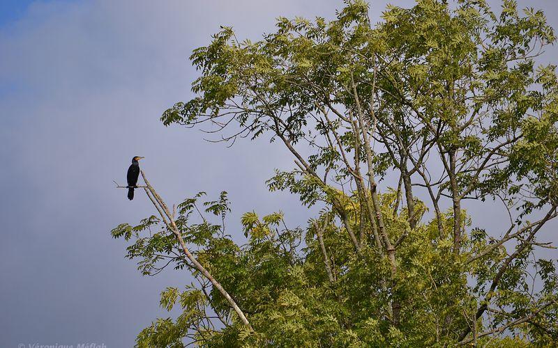 La photo du dimanche : Le cormoran