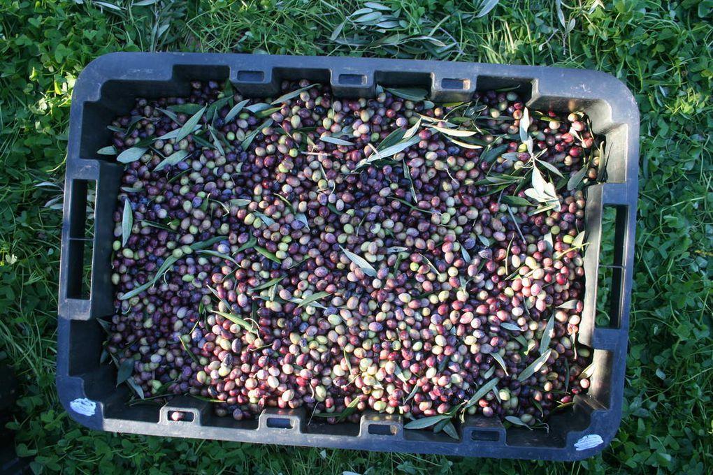 Récolte des olives 2014-2015