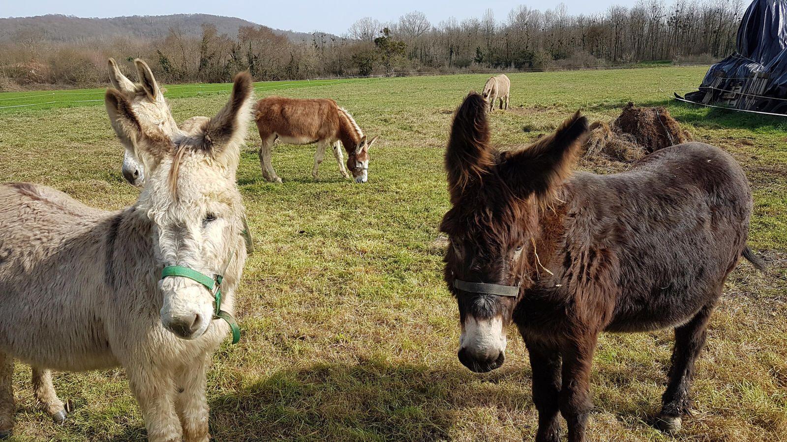 Salies du Salat - René Grassi , ses ânes et son livre