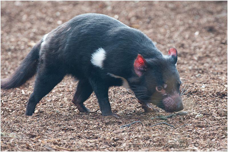 Son excellent odorat en fait un très bon charognard, capable de repérer un cadavre en décomposition à 2 km et de le faire disparaître avant que des maladies ne se propagent.