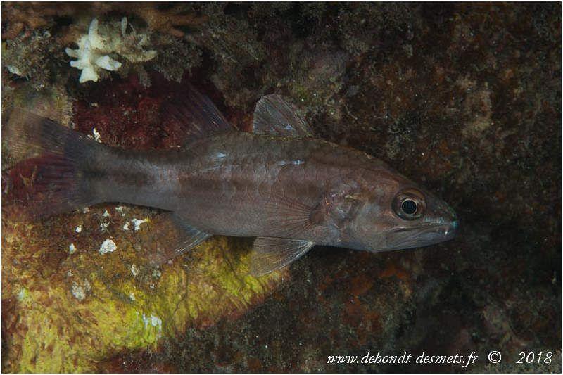 Faux poisson cardinal à trois points ou Poisson-cardinal de Redfinou  Poisson cardinal de Twobar( Apogon rhudopterus)
