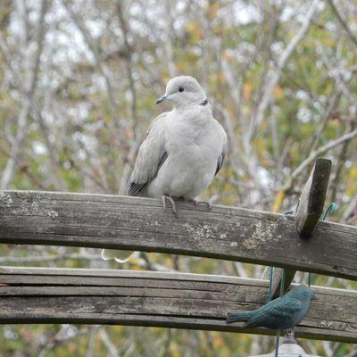Nos oiseaux du jardin .... Les tourterelles
