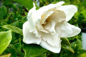 Juin: Le doux parfum des Kutchinashi no hana クチナシの花