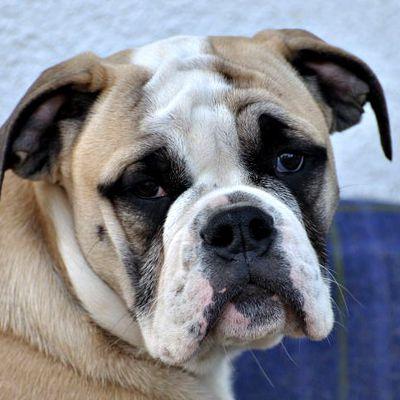 DonJon Contis Baby Luh - eine kleine Continental Bulldogge