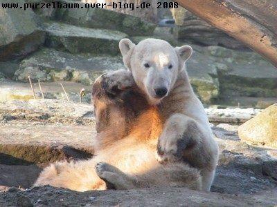 Knut am 30. Dezember 2008
