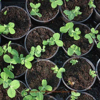 Semis de petits pois & de carottes