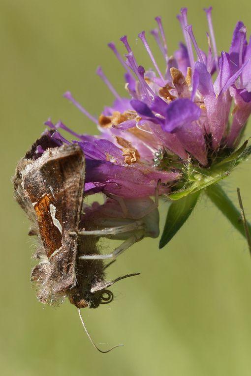 La goutte d'argent  (Noctuidae Plusiinae) - Macdunnoughia confusa Stph.