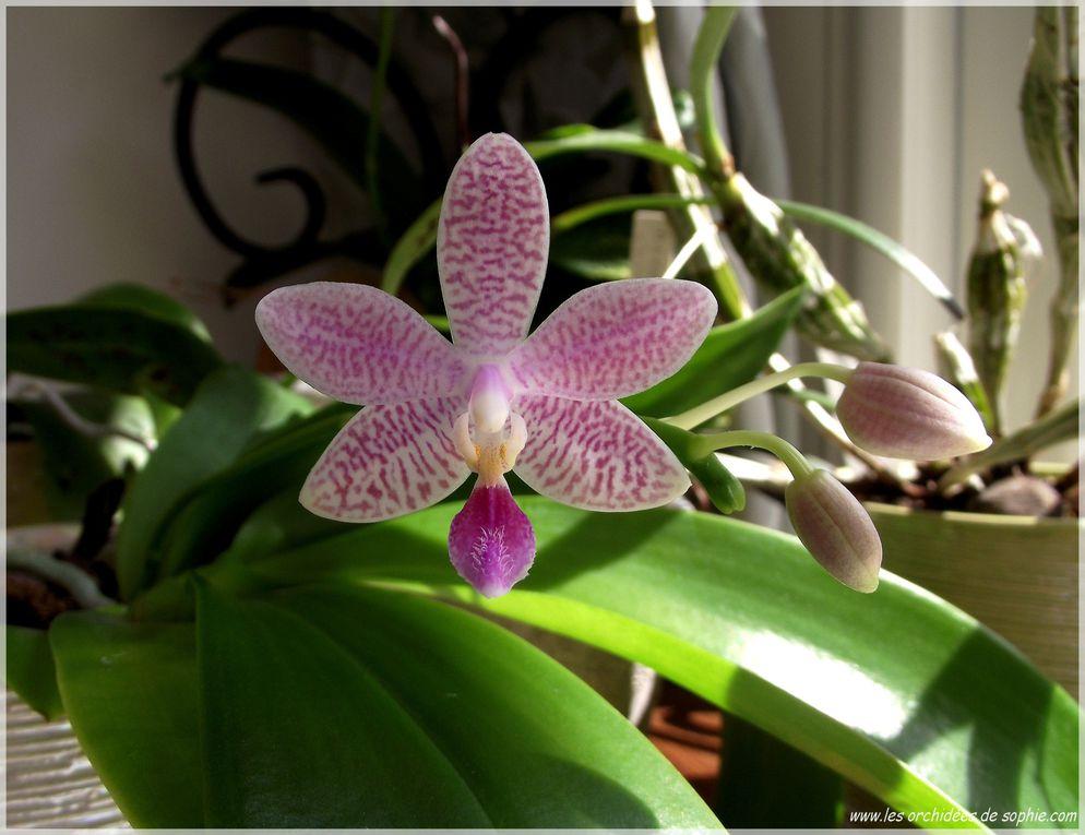 Cet album est consacré à ma collection  d'hybrides primaires de Phalaenopsis
