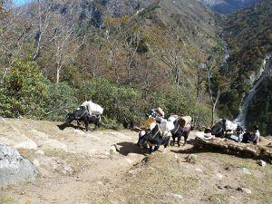 Le Yak pèse de 300 à 700 Kg. Ce précieux animal est indispensable à la survie des habitants du Népal et du Tibet.