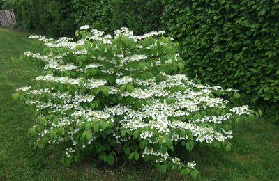 Viburnum plicatum 'Maresii'