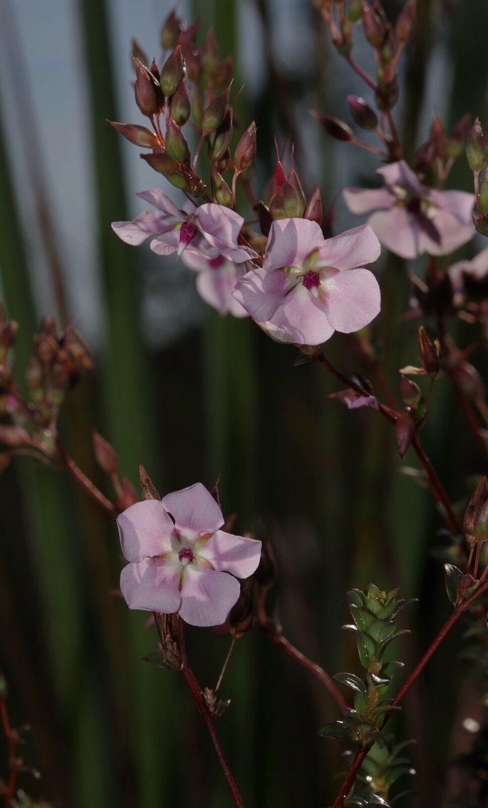 Sauvagesia sprengelii