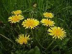 Le pissenlit une mauvaise herbe pleine de vertus...