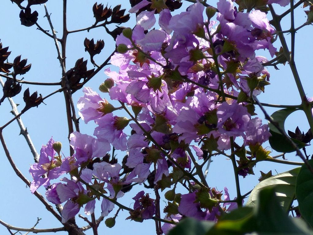 Fleurs du jour (20-26) - Fleurs d'Isaan (1)