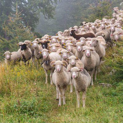 C'est la fête aux moutons