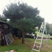 Métamorphose d'un pin silvestre en niwaki - Création de jardins d'inspiration japonaise