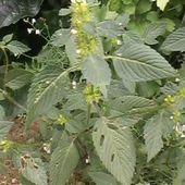 """L'amaranthe ou amarante, """"mauvaise"""" herbe aux qualités inconnues - Le blog des Jardins VOLPETTE"""