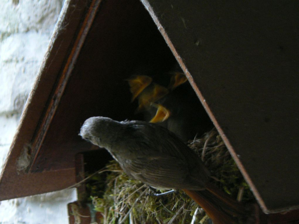 Nichée d'oiseaux sous mon balcon en mai et juin 2010